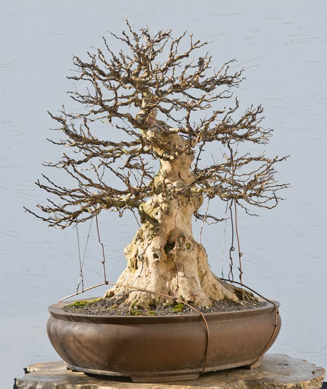 Walter Pall Bonsai Adventures: Trident maple #9 second wiring on