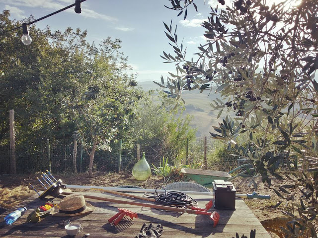Tools for the olive harvest on a table in a Tuscan olive grove