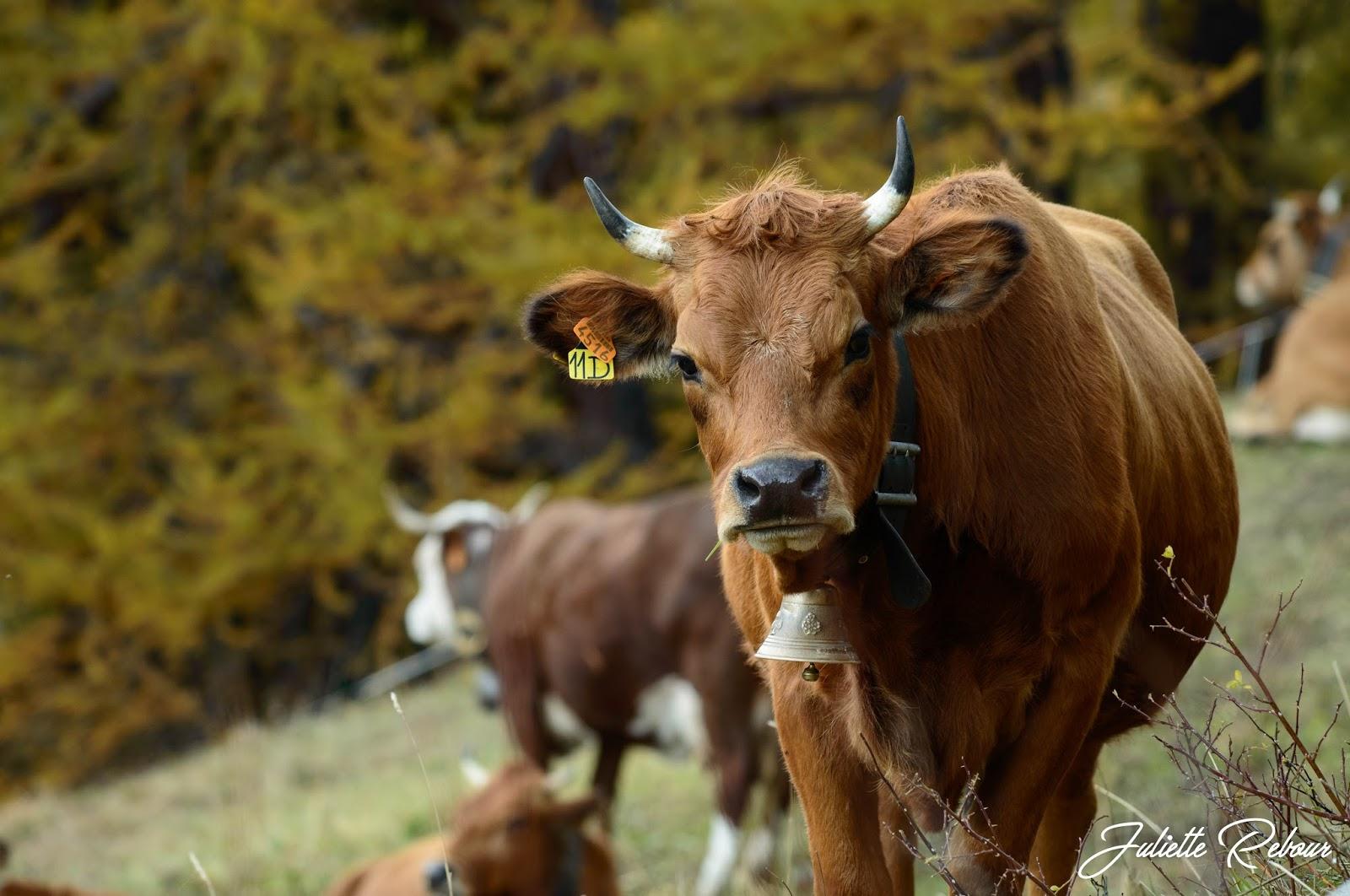 Génisse tarine en Savoie