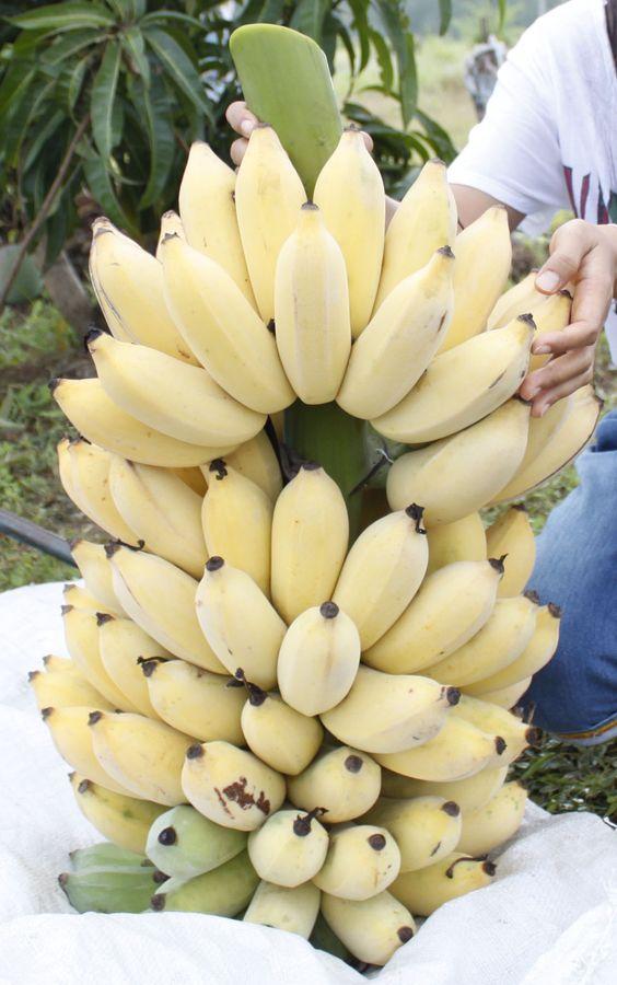 Banana (Musa ssp.)