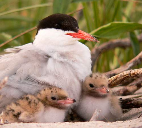 Sterna hirundo with chicks