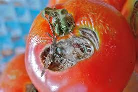 urban hidroponik, budidaya tomat