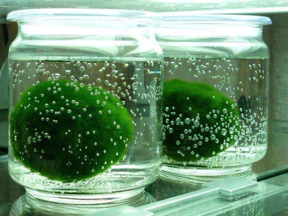 Ngoài bể thủy sinh, bạn có thể đơn giản đặt Moss Ball trong 1 hũ nhựa