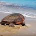 Απίστευτο: Δείτε τη χελώνα που βγήκε τσάρκα στην παραλία μας...
