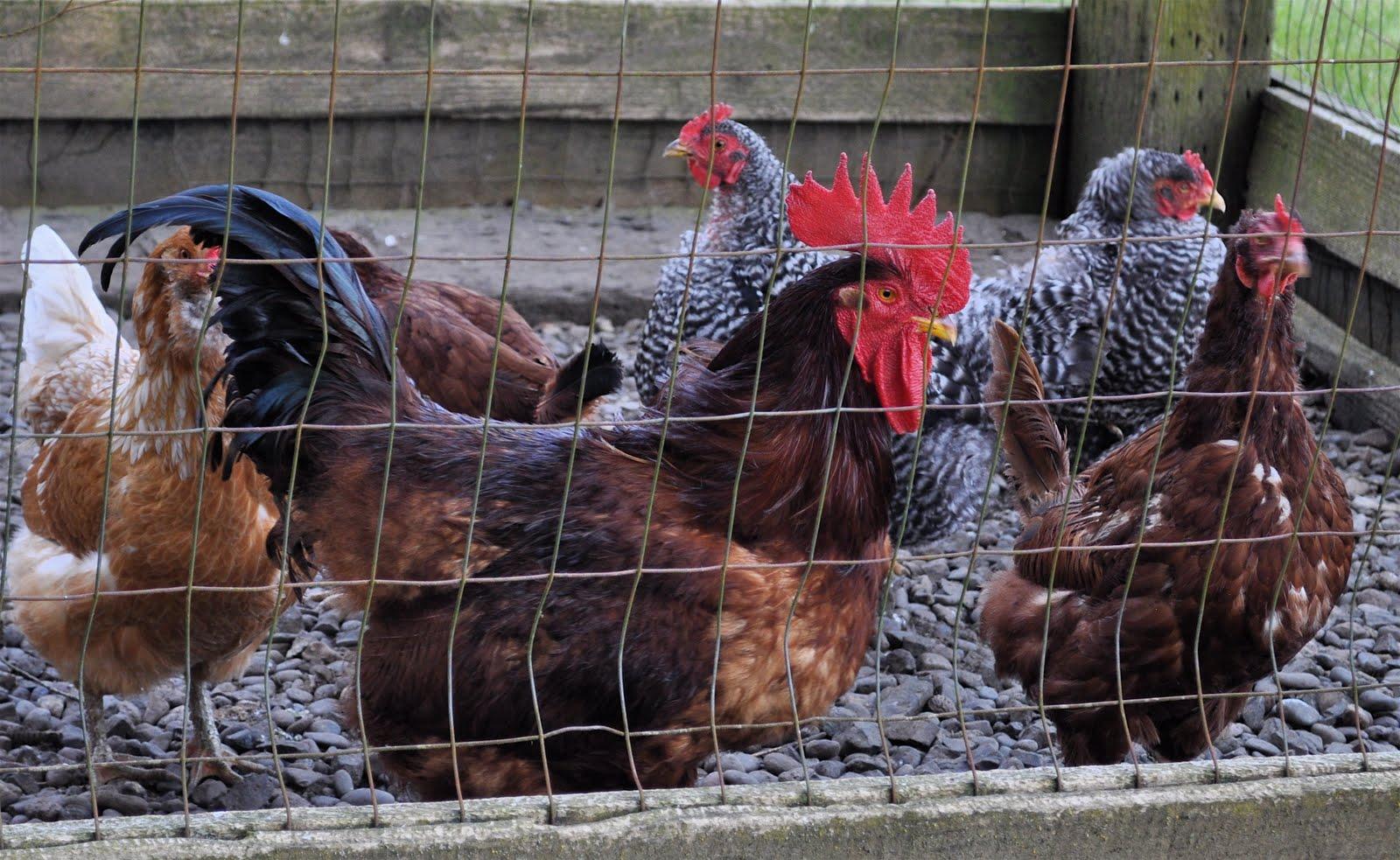 LuAnn Kessi: Chicken Yard...