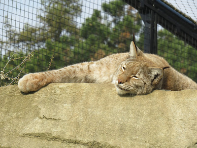 A Napping Puma Paris Zoo