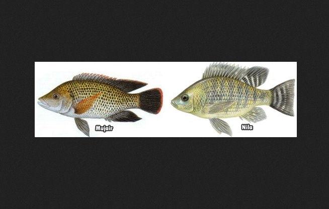Ikan Mujaer dan Nila Ikan Tawar Untuk Obat Kanker