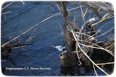 река, кусты, белая трясогузка