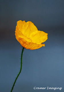 Cramer Imaging's professional quality fine art nature photograph of a yellow flower at Temple Square, Salt Lake City, Utah