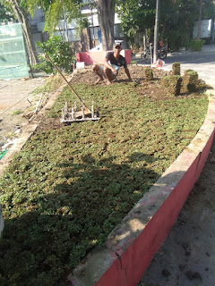 Harga jual Rumput gajah mini gubeng surabaya dari lahan kita di malang
