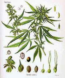 Marijuana Flowering Cycle Picture