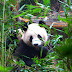Giant Pandas and Magical Masks