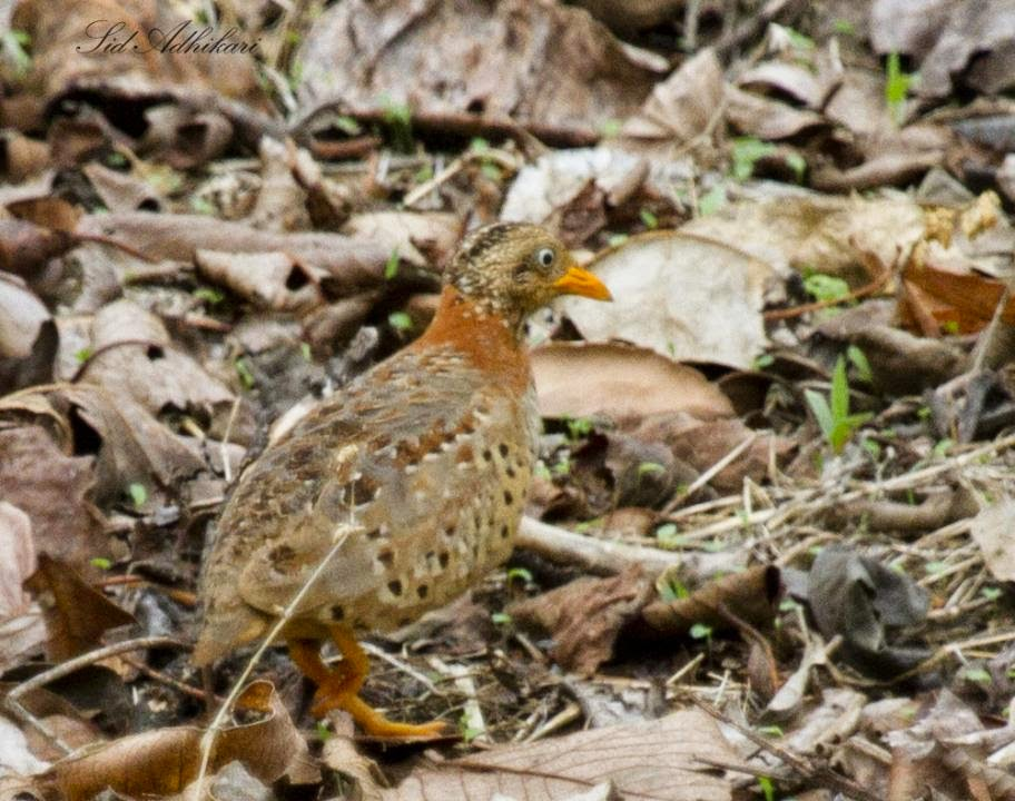 Yellow legged Buttonquail