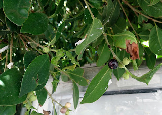Bjørkefiken med frukt, Ficus benjamina