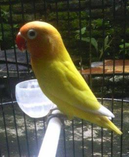 manfaat belimbing untuk lovebird