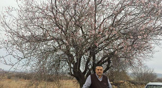 Eğil'de bahar gelmeden badem ağaçları çiçek açtı