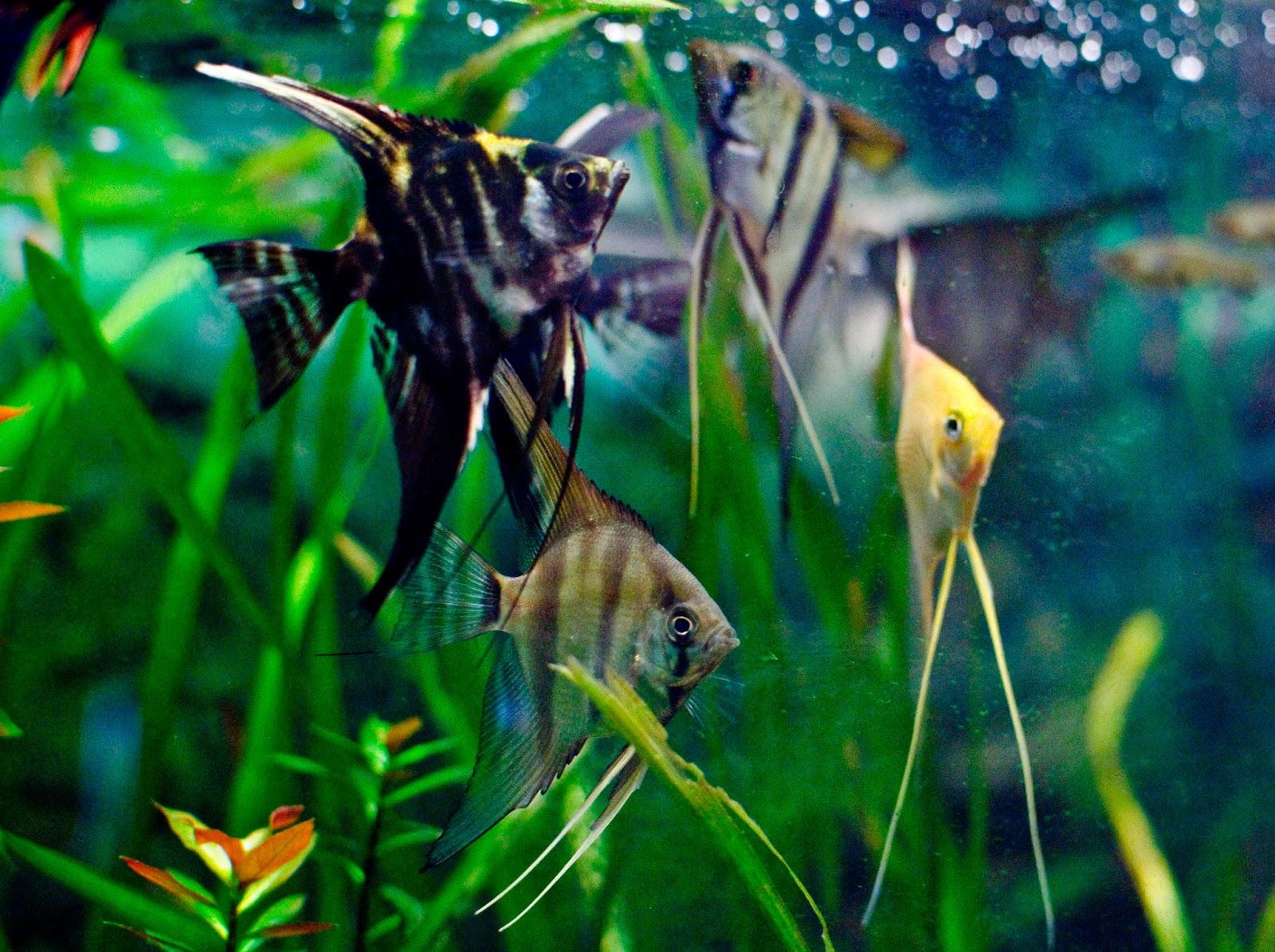 Aquarium Fish - Angelfish Pictures | Fun Animals Wiki ...