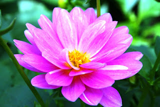 Bunga Teratai Pink Cantik Bermekaran_Lotus Flower Picture