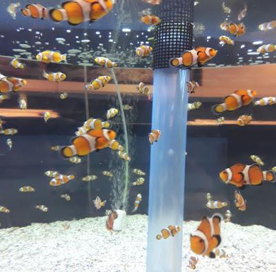 Clown Fish EPCOT