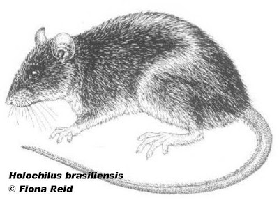 Web footed Marsh Rat
