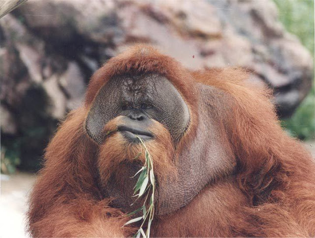Fu Manchu, Orangutan in Omaha's Henry Doorly Zoo, chewing on leaves in the 1960s. The Zoo Houdinis and other stories. marchmatron.com
