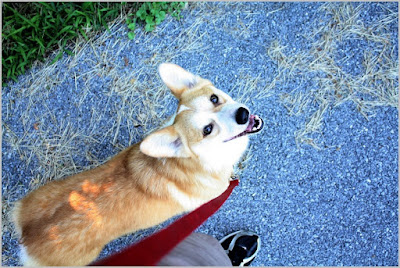 All About Dogs Images Corgi Breeders In Pa