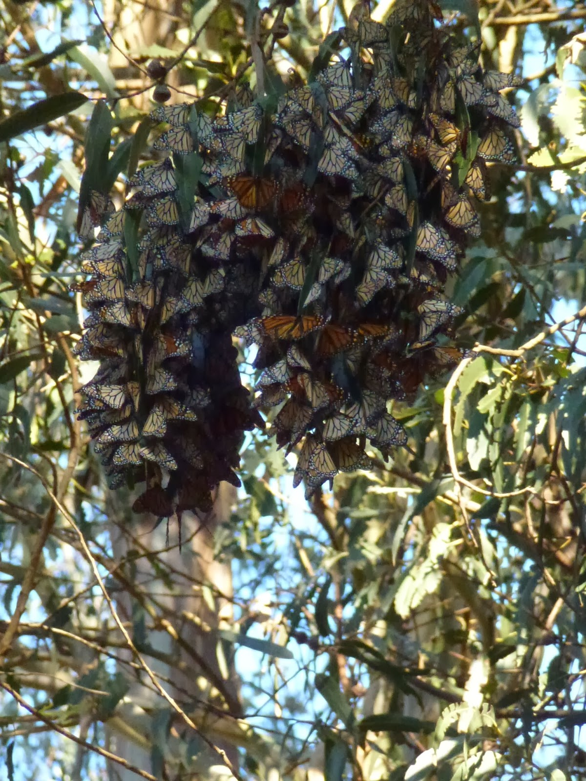 A flight of monarch butterflies cling together in a eucalyptus tree looking like a white, orange and brown leaves.