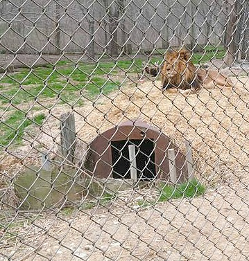 EFRC Big Cats Lions in Indiana Field Trip Idea