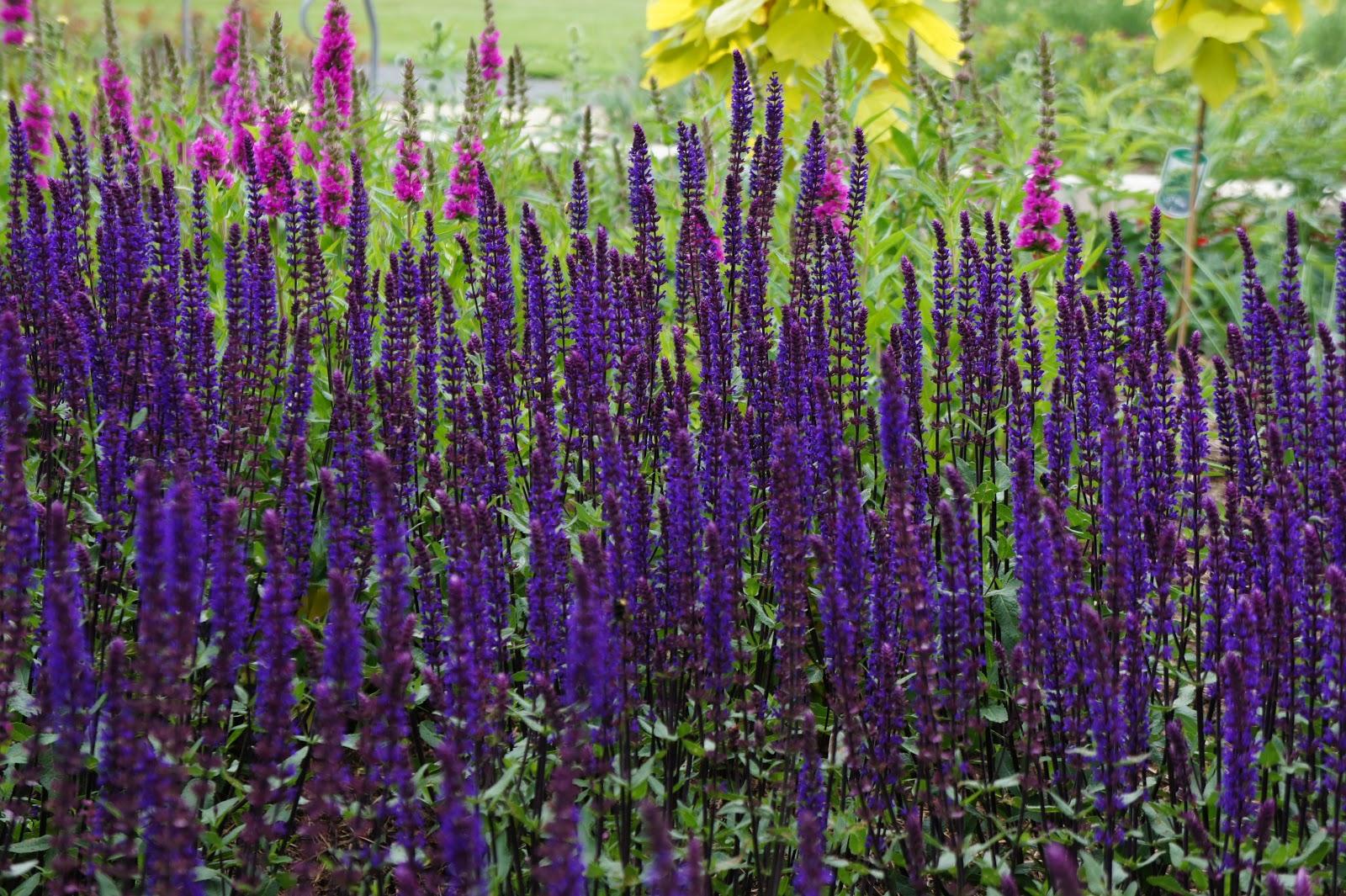 Chias! It's a salvia |Salvia Plants