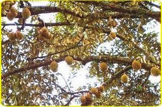 keunggulan durian menoreh, durian menoreh kalibawang, bibit durian menoreh kuning, harga durian menoreh, khasial durian, durian montong, durian bawor,