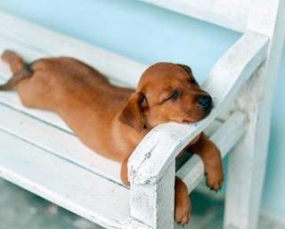 Uyuyan-Sevimli-Köpek