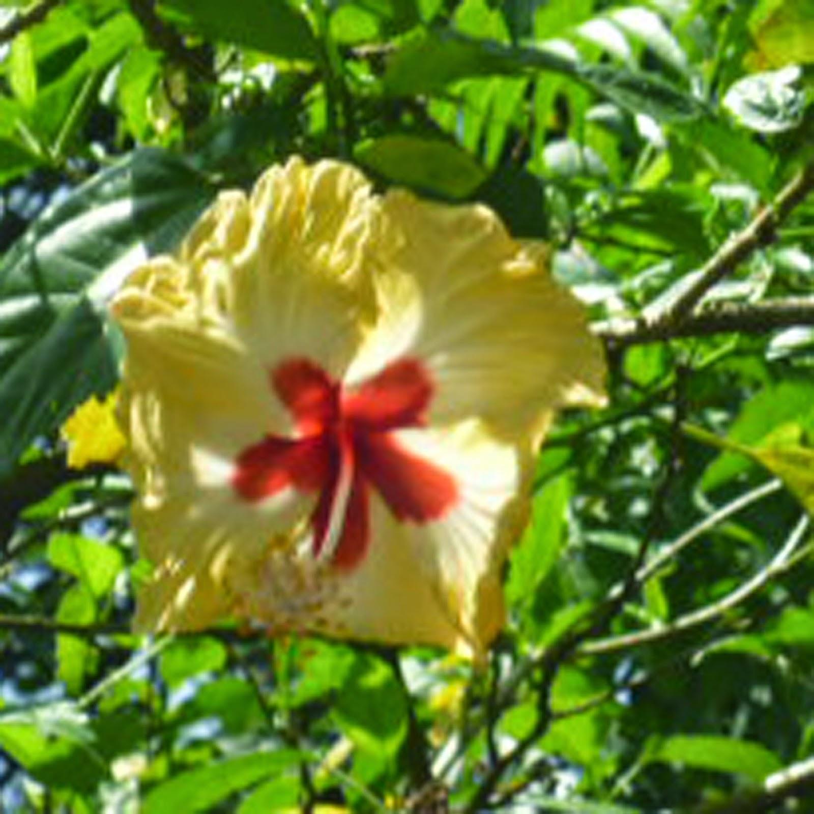 Infoworld Hibiscus Rosa Sinensis