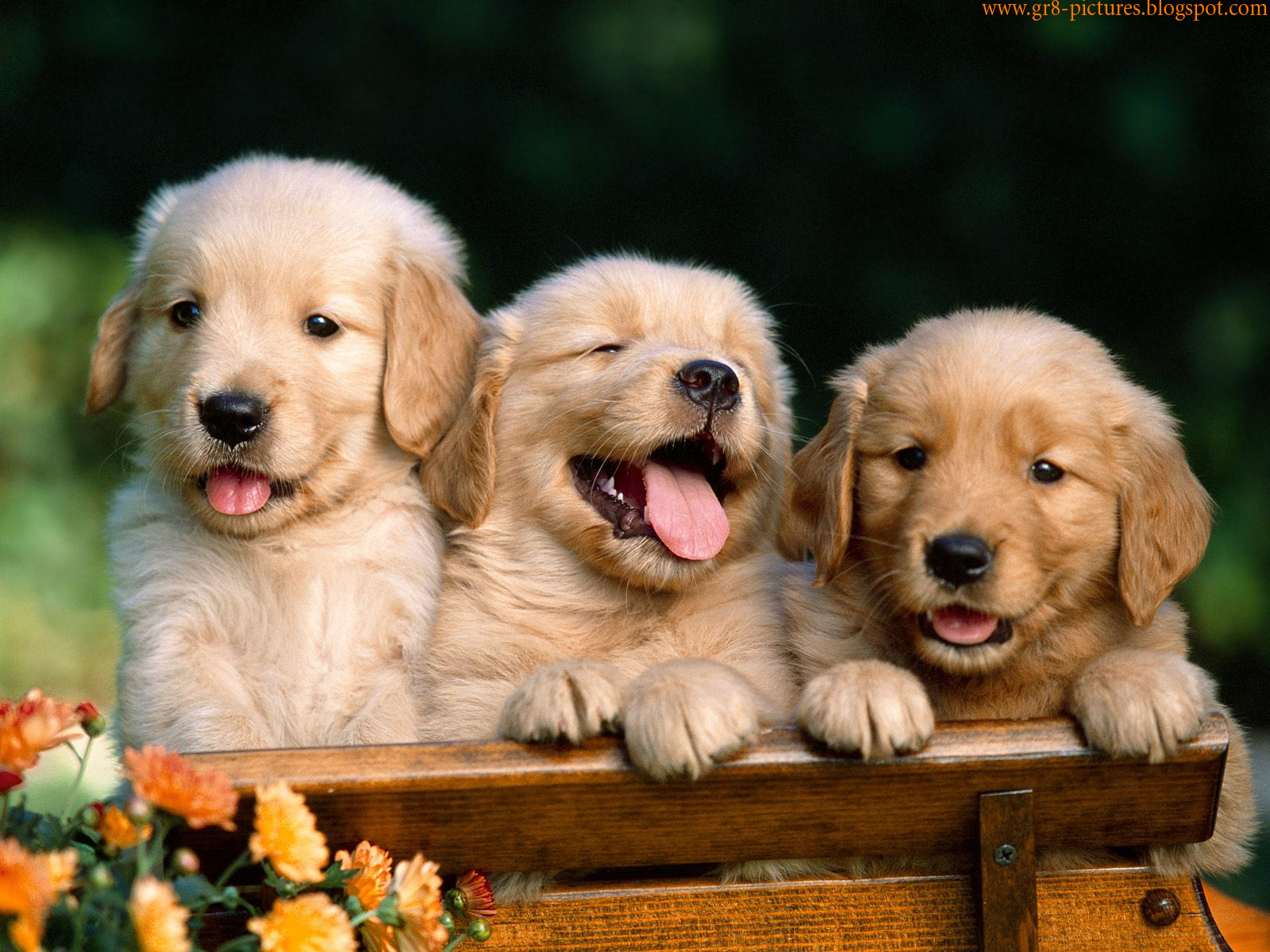 Pink Wallpaper With Cute Puppy Golden Retriever Hd Wallpapers Cute Puppies