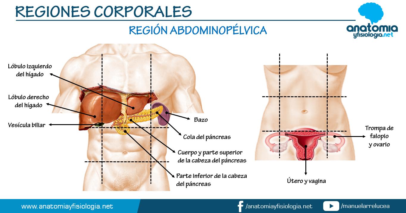 Anatomía y Fisiología: REGIÓN ABDOMINOPÉLVICA