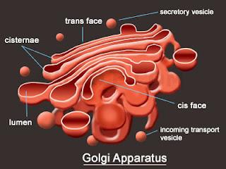 Badan Golgi Aparatus, Fungsi Badan GOLGI (APARATUS)