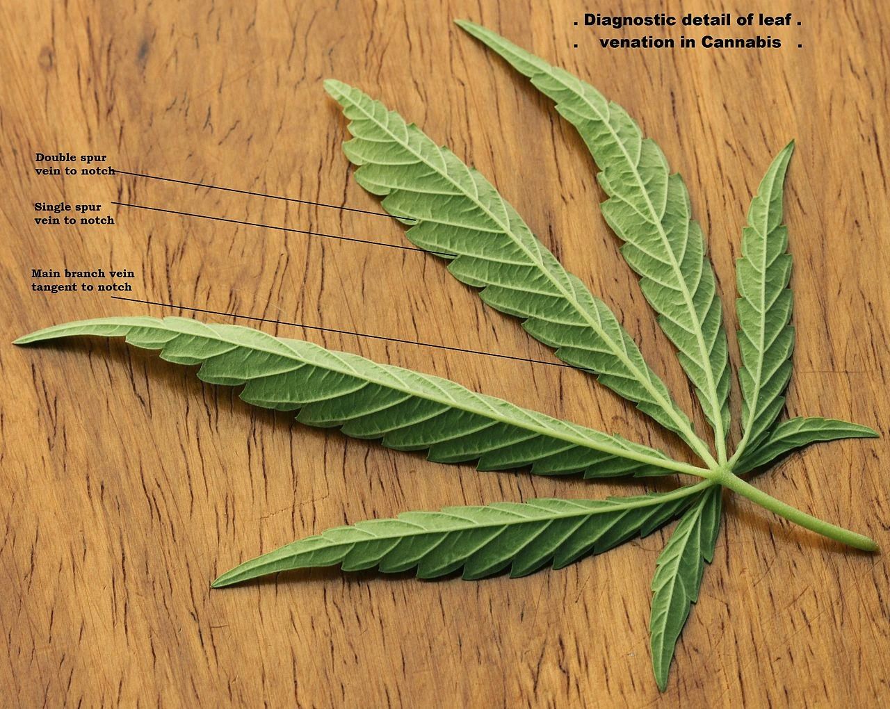 Cannabis leaf, Cannabis Sativa