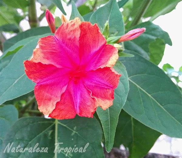 Variedad morada de una flor del género Mirabilis