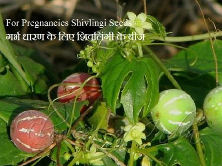 गर्भ धारण के लिए शिवलिंगी के बीज-For Pregnancies Shivlingi Seeds