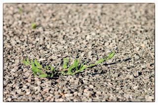Murvás úton kapaszkodó zöld növény