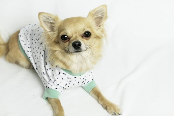 a blonde chihuahua wearing KatanddogUK white pyjamas with black sprinkles and mint trim