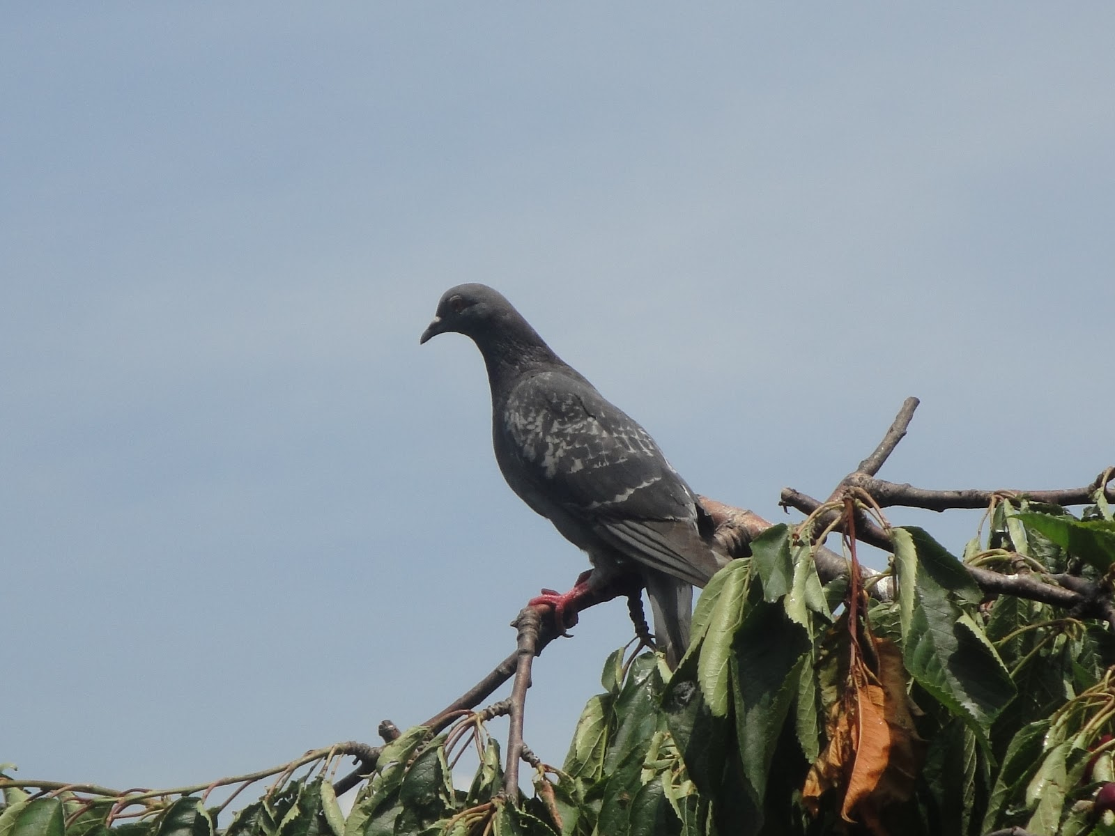 A pigeon sits perched on top of a cherry tree.