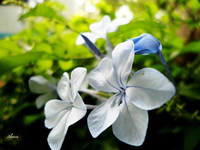 Plumbago | Fotografía | Flores