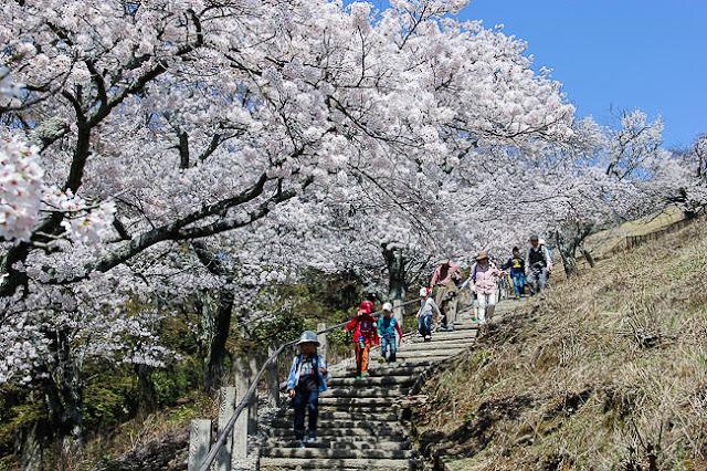 Cherry Blossom in Mount Wakasayama, Nara
