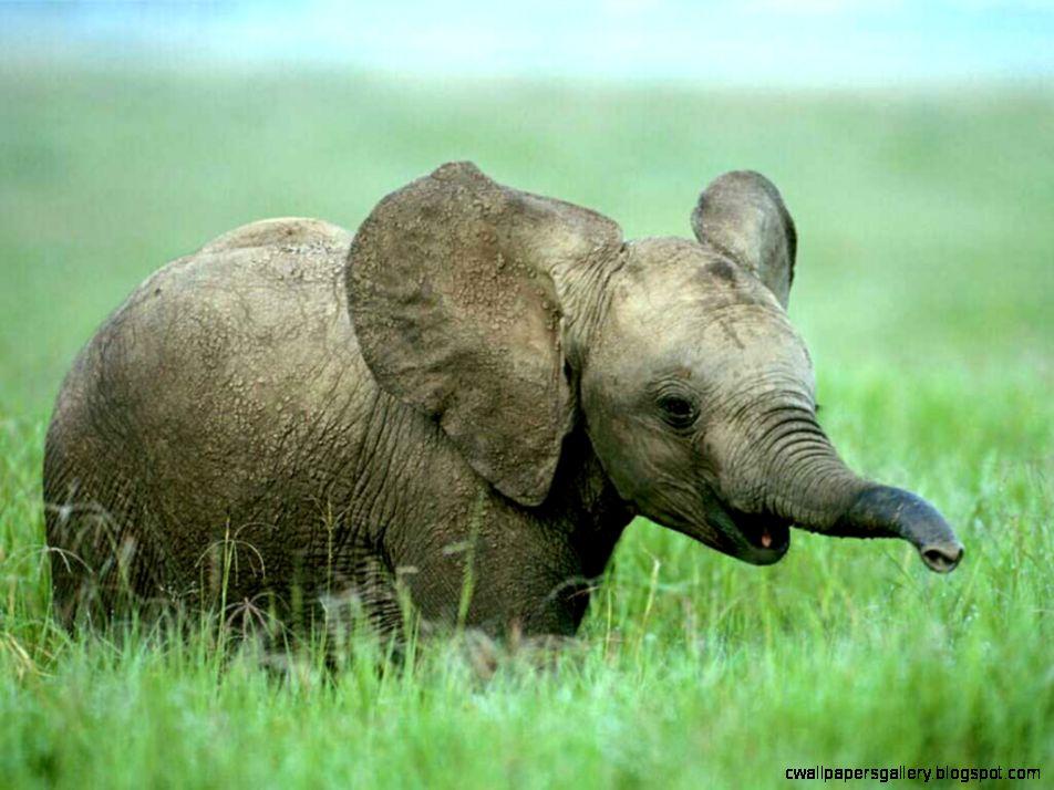 Baby Elephant Wallpaper Desktop   Wallpapers Gallery