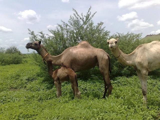 ابل تتوسط المراعي الطبيعية في السودان