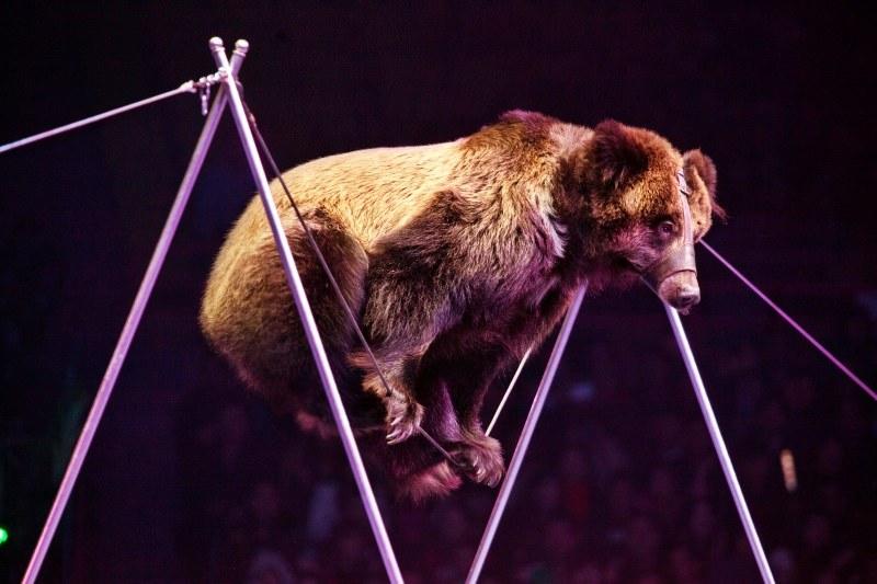 Urso caminha numa corda bamba