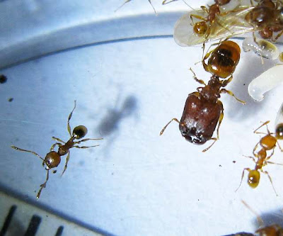 Minor workers and a major worker of Pheidole sp
