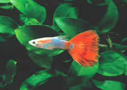 Jenis Ikan Guppy  Red tail guppy