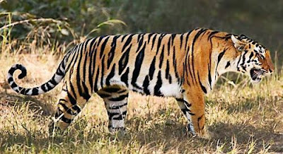 cool facts about tigers