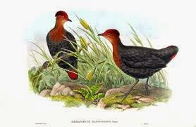 Crimson headed Partridge